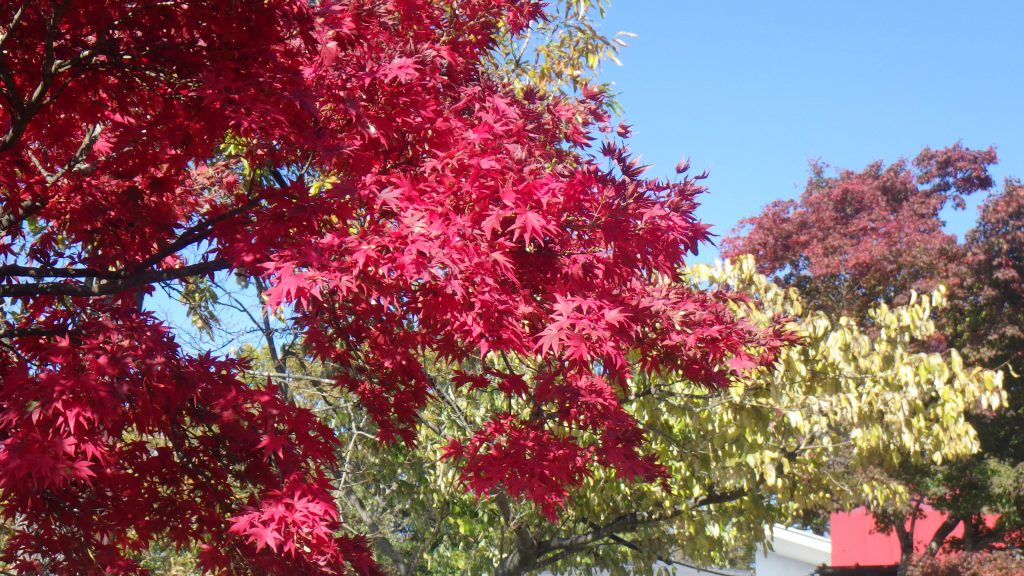 Red maple leaves bring the crowds