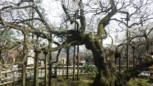 Jushoubai plum tree