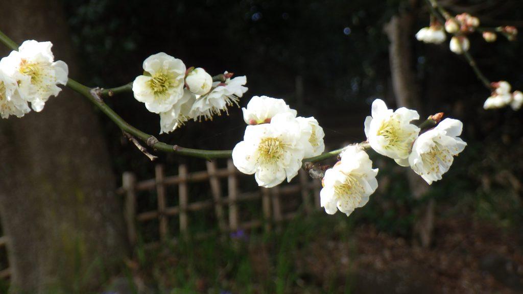 Mogusaen plum blossoms