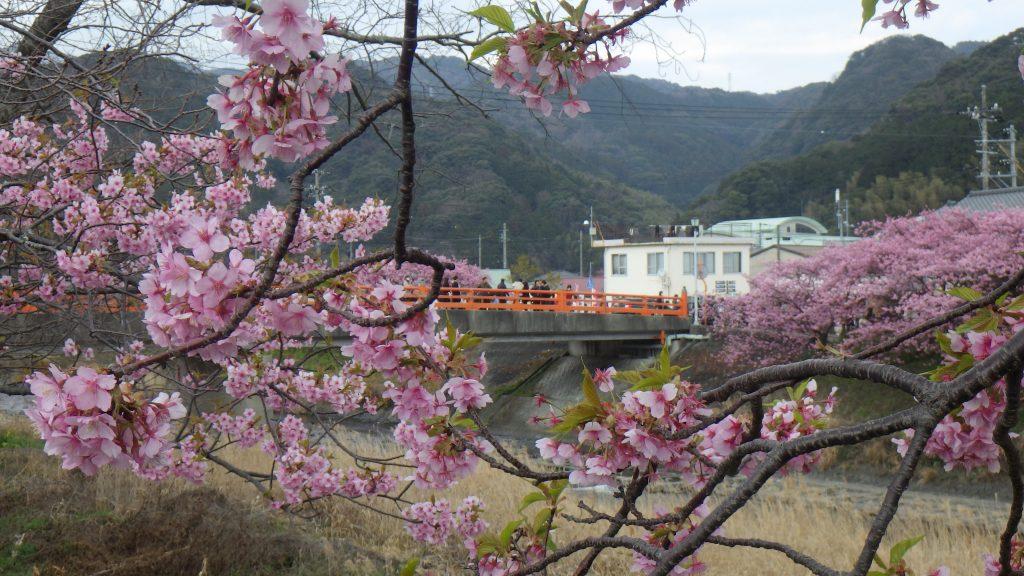Kawazuzakura