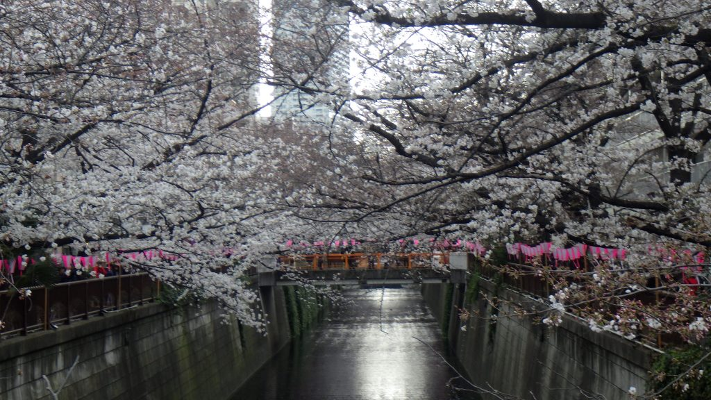 Cherry trees arch over Meguro river