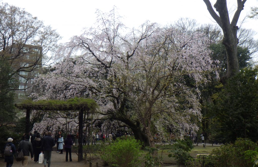 Shidarezakura (weeping cherry tree)