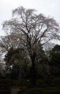 Sakura at Rikugien