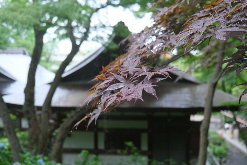 Momiji (Japanese Maple)